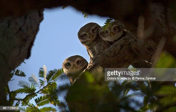 Owlets, owls family