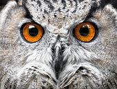 Owls Portrait. owl eyes
