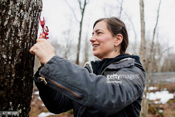 Owner April Lemay uses a special tool to attach a vacuum tube to a tap in a maple tree at April's Maple in Canaan Vermont US on on Thursday April 23...