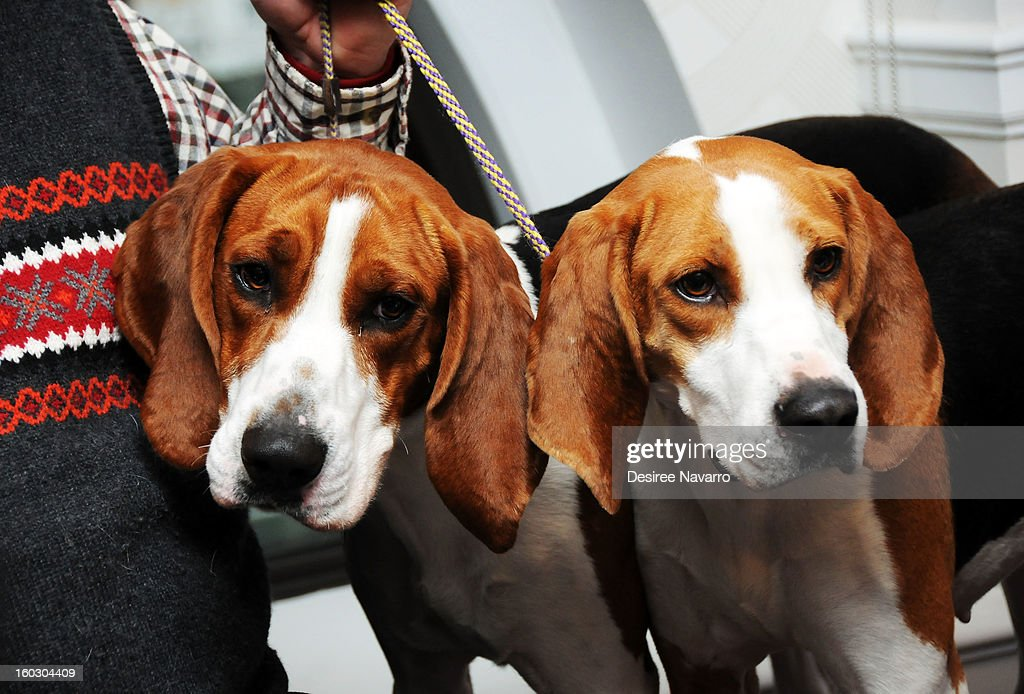 Owner Curt Willis and his Treeing Walker Coonhound dogs 'Tank' and 'Meg' attend The Westminster Kennel Club 137th Annual Dog Show - Press Conference at Affinia on January 28, 2013 in New York City.