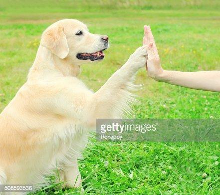 Proprietario di Golden Retriever cane sull'erba, dando QUA LA ZAMPA : Foto stock
