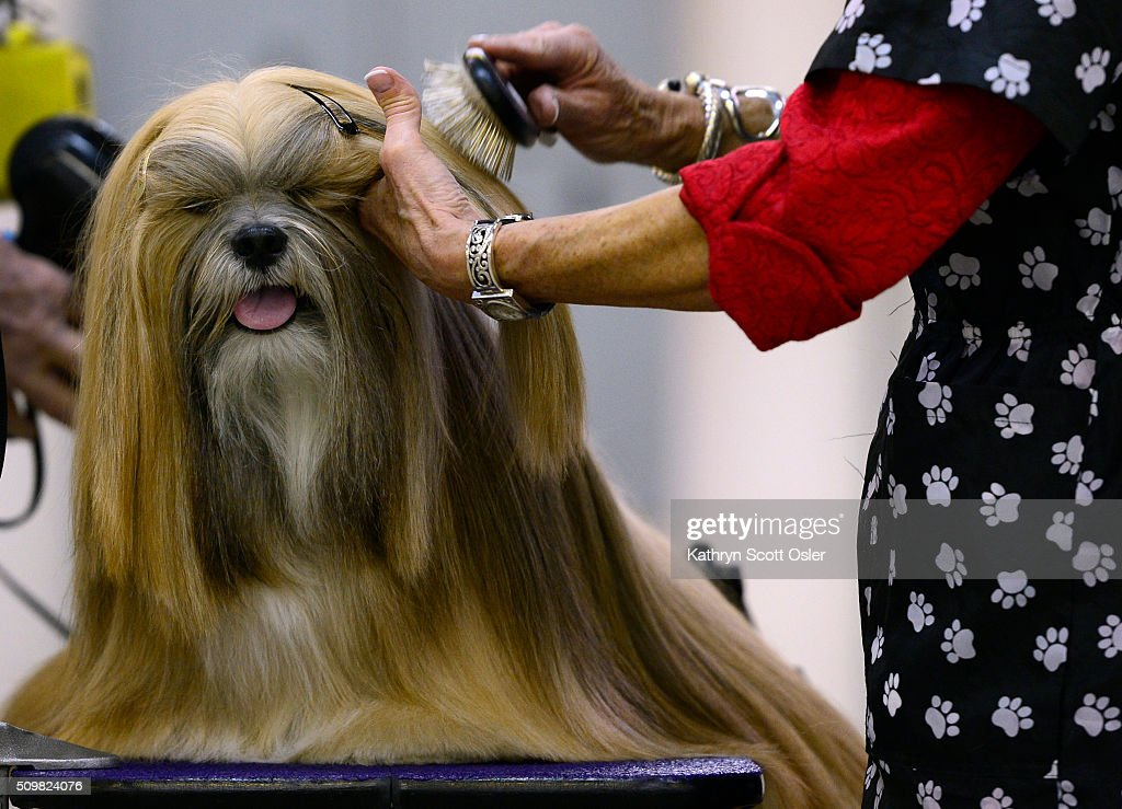 Owner/handler Bev Adams-Zeiler of Centennial spends what will end up being about eight hours, carefully grooming Lhasa Apso 'Johnny Depp' for his chance to show. The Rocky Mountain Cluster All Breed Dog Show takes place at the National Western Complex in Denver on Friday, Feb. 12, 2016 and continues through Sunday, Feb 15th.