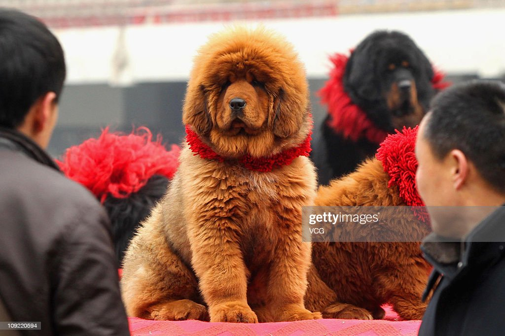 Owners prepare their Tibetan mastiffs during the 'China Northern 2011 Tibetan Mastiff Exposition' at Yutong International Sports Centre on February...