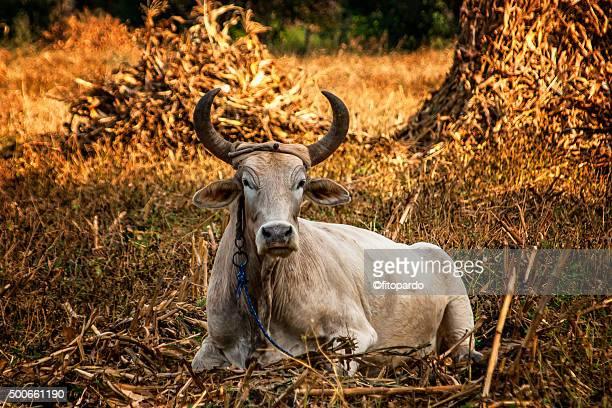 Ox or Oxen