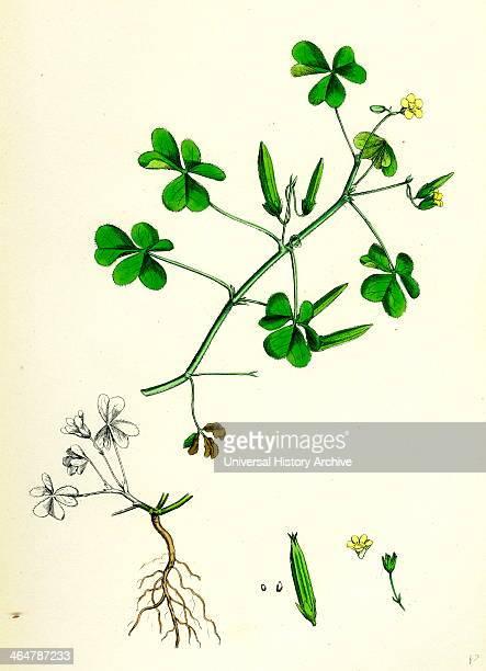 Oxalis corniculata Procumbent Yellow Sorrel