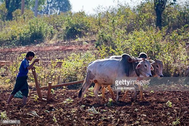 Oxdrawn plough in the fields outside Pindaya in Myanmar