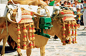 Oxen dressed up for celebration of Virgin Mary, Benalmadena, Spain