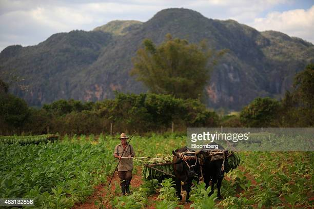 Oxen pull a load of harvested tobacco in Vinales Cuba on Thursday Jan 29 2015 Despite the recent easing of restrictions on Cuban travel and goods by...