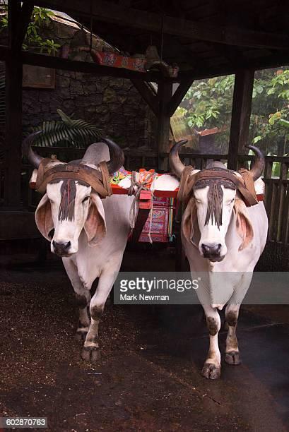 Oxen pulling a Sarchi Cart