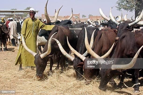 Oxen / zebu at livestock market Zinder Niger Western Africa