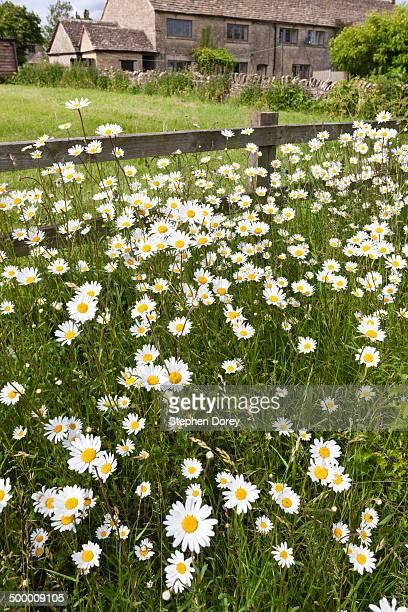 Ox-eye daisies, Great Barrington, Gloucestershire