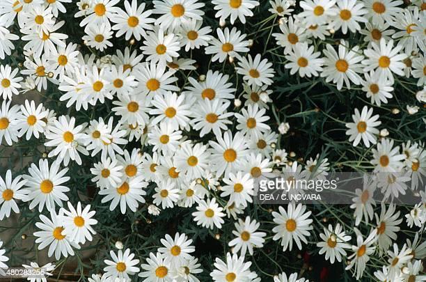 Oxeye daisy Asteraceae Detail