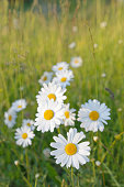Oxeye daisy flowers on a meadow with green grass at sunrise (latin name: Primula)