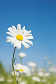 Ox-eye Daisy (Leucanthemum vulgare), June