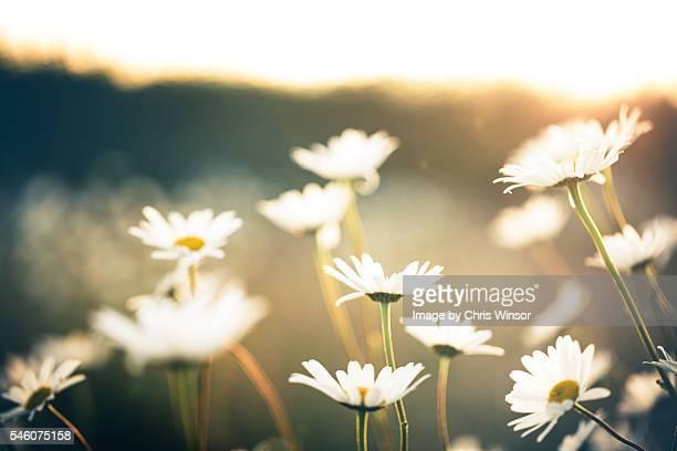 Oxeye daisy sundown