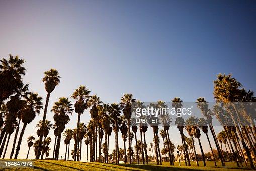 Oxnard Palm Trees