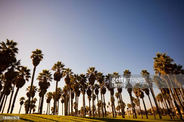 Oxnard Palm Trees