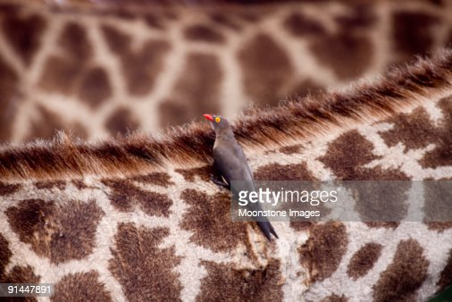 Oxpecker on giraffe in Kruger Park, South Africa
