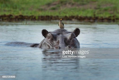 Oxpecker on Hippo  (Hippopotamus amphibius)