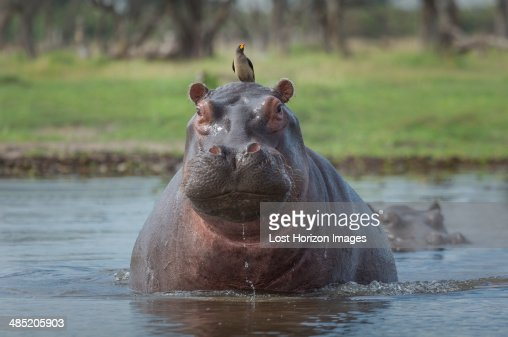 Oxpecker on Hippo's head  (Hippopotamus amphibius)