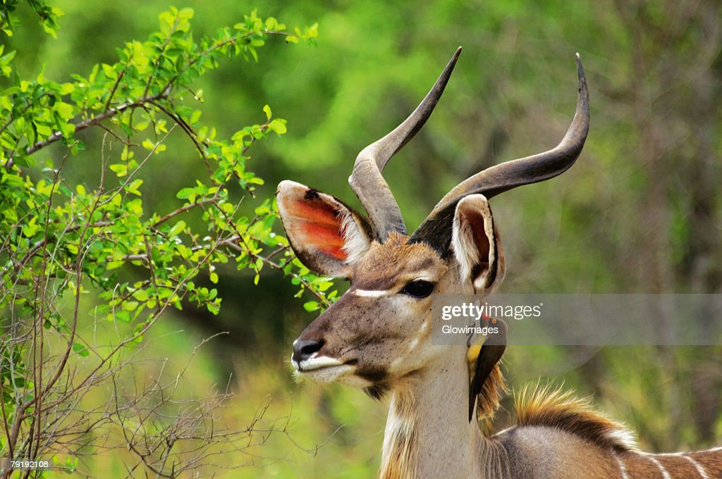 Oxpecker on the neck of a male Kudu (Tragelaphus strepsiceros), Kruger National Park, Mpumalanga Province, South Africa : Foto de stock