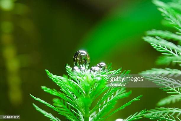 Oxygen Bubble From Aquatic Plant