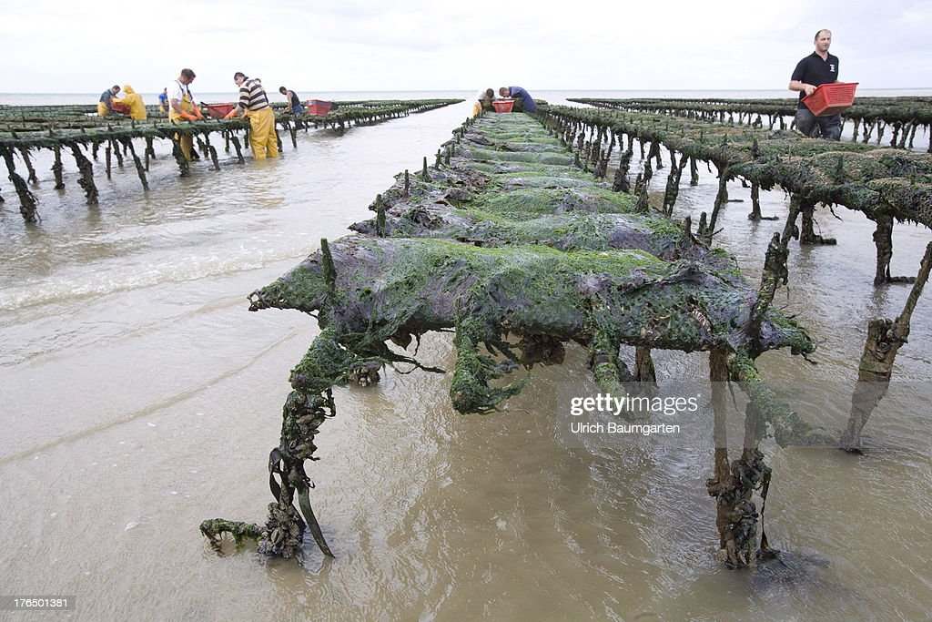Oyster farm with oyster banks at the coast of Asnelles in the Normandy on August 06, 2013 near Asnelles, France.