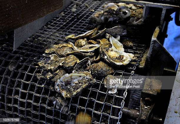Oyster shells are cleaned after shucking and are reused at an oyster hatchery June 29 2010 Weems VA Michael S Williamson/The Washington Post via...