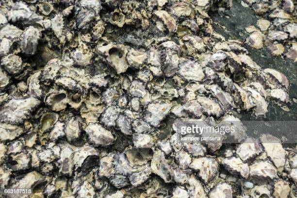 Oyster shells on stone by the sea, Myanmar