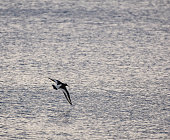 An Oystercatcher flying over the waters of the English Channel near Bournemouth