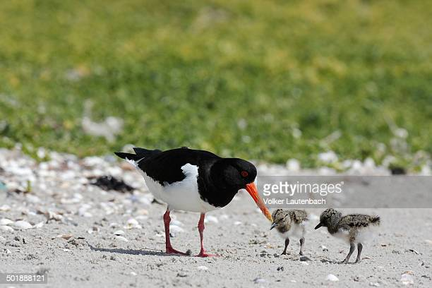 Oystercatcher -Haematopus ostralegus-, with chicks, Minsener Oog, East Frisian Islands, Lower Saxony Wadden Sea, Lower Saxony, Germany, Europe