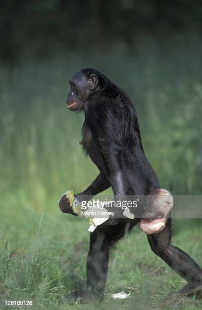 PA054-506e BONOBO CHIMPANZEE. PAN PANISCUS. OFTEN WALKS BIPEDALLY. ENDANGERED. TROPICAL RF. ZAIRE/CONGO