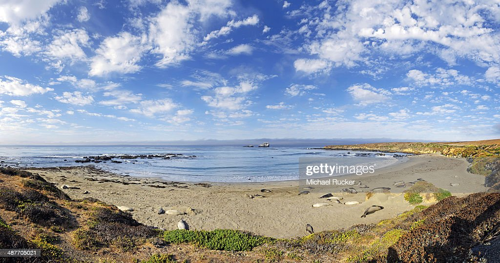 Pacific Coast with Northern elephant seals -Mirounga angustirostris- on beach with clouded sky, Piedras Blancas, California, United States