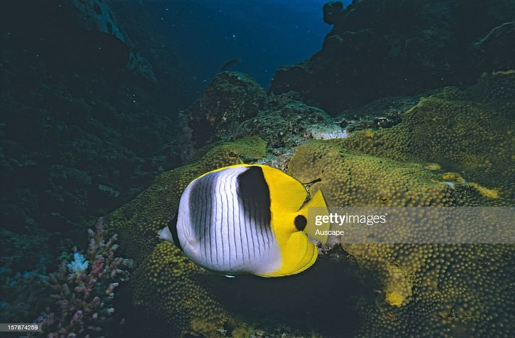 Pacific doublesaddle butterflyfish grows to 15 cm Great Barrier Reef Queensland Australia