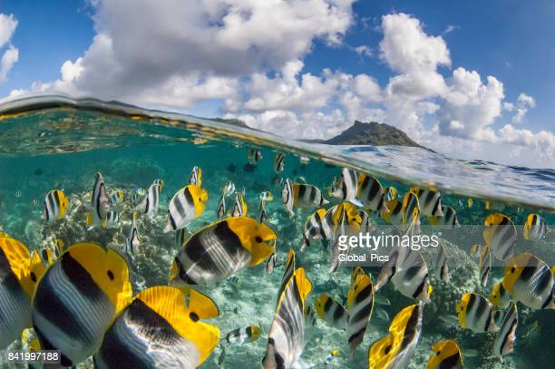 Pacific Double-saddle Butterflyfish (Chaetodon ulietensis)