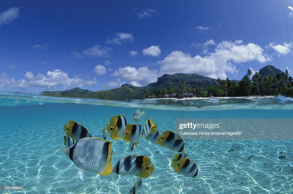 Pacific double-saddle butterflyfish, Tahiti