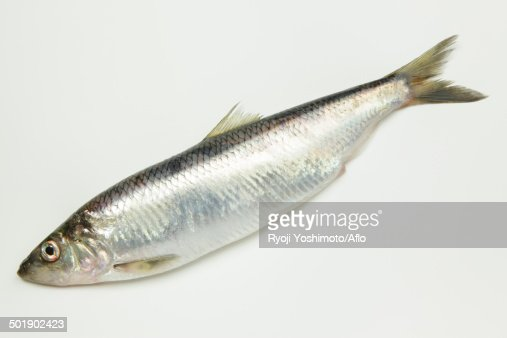 Pacific Herring Stock Photo | Getty Images