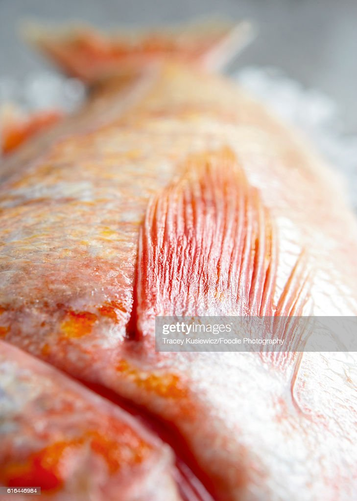 Pacific Red Rockfish : Stock Photo