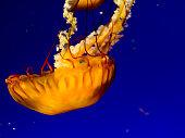 Pacific sea nettle, West Coast sea nettle, Jelly fish