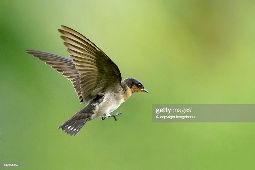 Pacific swallow in flight