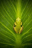 The Pacific tree frog, also known as the Pacific chorus frog, has a range from the West Coast of the United States to British Columbia in Canada and extreme southern Alaska.