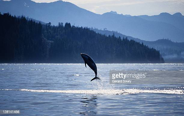 pacific white-sided dolphin, lagenorhynchus obliquidens, b.c.canada