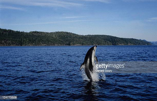 pacific white-sided dolphin,lagenorhynchus obliquidens, bc, canada