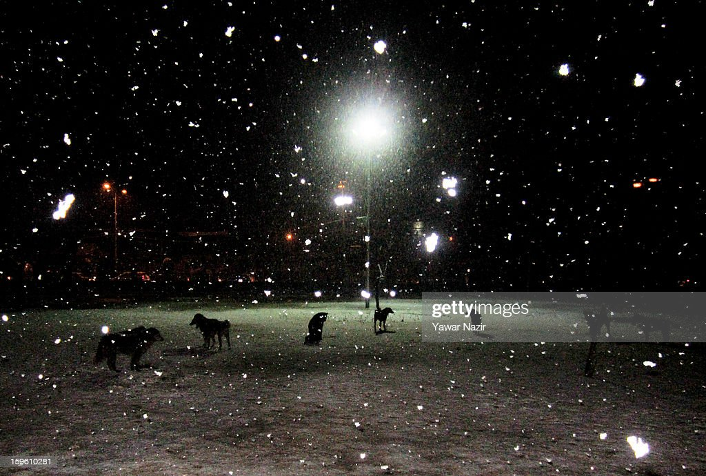 A pack of dogs search for food during heavy snowfall on January 17, 2013 in Srinagar, Indian Administered Kashmir, India. Several parts of the Kashmir Valley, including the summer capital Srinagar, experienced fresh snowfall today, prompting the authorities to issue an avalanche warning and leading to closure of the Jammu-Srinagar Highway, the only road link between Kashmir and rest of India.