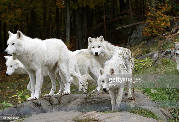 Pack of Five Arctic Wolves