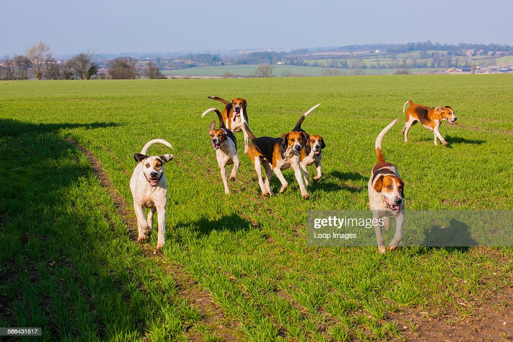 Pack of foxhounds running across a field
