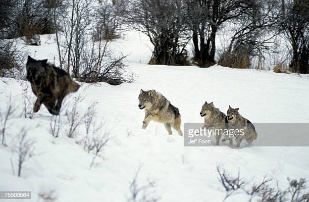 Pack of gray wolves (Canis lupus) Montana, USA