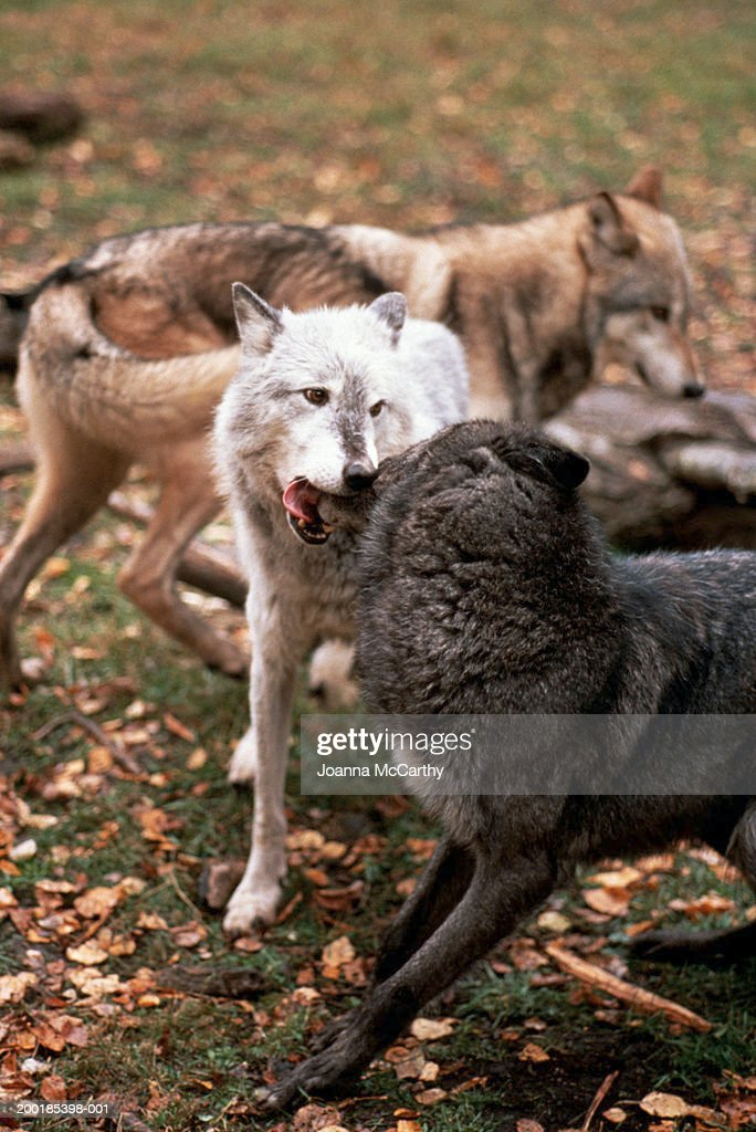 http://media.gettyimages.com/photos/pack-of-gray-wolves-playing-picture-id200185398-001 Gray