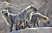 Pack of Hyenas