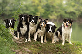 A pack of obedient dogs - Border Collies in all ages from the young dog to the senior
